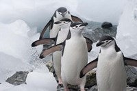 Four Chinstrap Penguins, Antarctica Fine Art Print