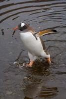 Gentoo Penguin, Hercules Bay, South Georgia, Antarctica by Keren Su - various sizes