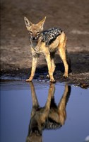 Botswana, Chobe NP, Black Backed Jackal wildlife Fine Art Print