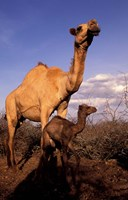 Dromedary Camel, Mother and Baby, Nanyuki, Kenya Fine Art Print