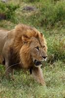 Adult male lion, Lake Nakuru National Park, Kenya by Adam Jones - various sizes
