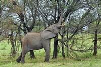 African Elephant feeding on Tree bark, Serengeti National Park, Tanzania by Adam Jones - various sizes