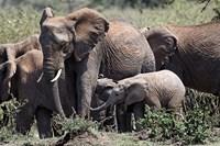 African Elephant herd with babies, Maasai Mara, Kenya by Adam Jones - various sizes