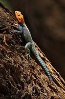 Agama Lizard, Samburu National Game Reserve, Kenya by Adam Jones - various sizes