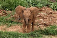 Baby Africa elephant, Samburu National Reserve, Kenya Fine Art Print