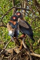 Bateleur Eagles, Samburu National Reserve, Kenya by Adam Jones - various sizes, FulcrumGallery.com brand