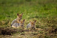Black-backed Jackal wildlife, Maasai Mara, Kenya by Adam Jones - various sizes, FulcrumGallery.com brand