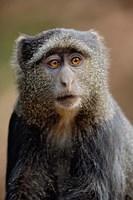 Blue Monkey, Tanzania by Adam Jones - various sizes