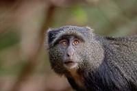 Blue Monkey, Lake Manyara National Park, Tanzania by Adam Jones - various sizes