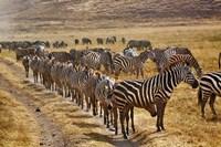 Burchell's Zebra waiting in line for dust bath, Ngorongoro Crater, Tanzania by Adam Jones - various sizes