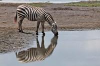 Burchell's Zebra, Lake Nakuru National Park, Kenya by Adam Jones - various sizes