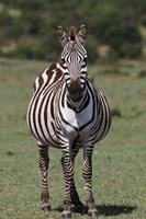 Zebra, Maasai Mara, Kenya by Adam Jones - various sizes