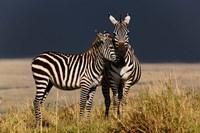 Burchell's Zebra, Maasai Mara, Kenya by Adam Jones - various sizes