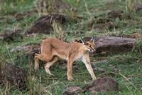 Caracal wildlife, Maasai Mara, Kenya by Adam Jones - various sizes