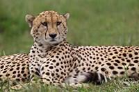 Cheetah resting, Maasai Mara, Kenya by Adam Jones - various sizes