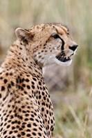 Cheetah profile, Maasai Mara, Kenya by Adam Jones - various sizes