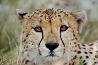 Head of a Cheetah, Masai Mara Game Reserve, Kenya by Adam Jones - various sizes