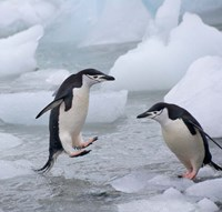 Chinstrap Penguins on ice, Antarctica by Keren Su - various sizes