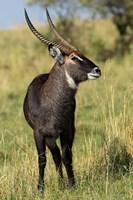 Common Waterbuck wildlife, Maasai Mara, Kenya by Adam Jones - various sizes