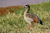 Egyptian Goose, Samburu Game Reserve, Kenya Fine Art Print