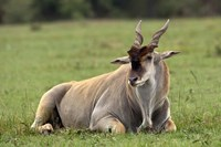 Eland (Taurotragus oryx) Kenya's largest antelope Fine Art Print