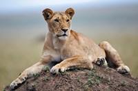 Female lion on termite mound, Maasai Mara, Kenya by Adam Jones - various sizes