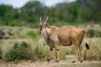 Giant Eland wildlife, Serengeti National Park, Tanzania by Adam Jones - various sizes