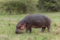 Hippopotamus near riverside, Maasai Mara, Kenya by Adam Jones - various sizes