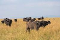 African Buffalo (Syncerus caffer), Mount Kenya National Park, Kenya by Keren Su - various sizes