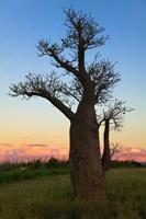 Baobob Trees, Berenty National park, Toliara, Madagascar by Keren Su - various sizes, FulcrumGallery.com brand