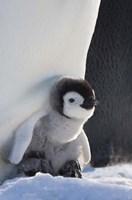 Baby Emperor Penguin, Snow Hill Island, Antarctica by Keren Su - various sizes