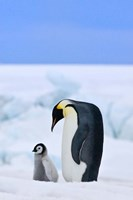 Parent and chick Emperor Penguin, Snow Hill Island, Antarctica Fine Art Print