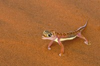 Desert Gecko, Namib Desert, Namibia Fine Art Print