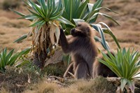 Gelada Baboons With Giant Lobelia, Simen National Park, Northern Ethiopia Fine Art Print