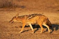 Black-backed jackal, Canis mesomelas, Etosha NP, Namibia, Africa. by David Wall - various sizes