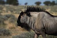 Blue wildebeest, Connochaetes taurinus, Etosha NP, Namibia, Africa. by David Wall - various sizes