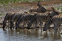 Burchells zebra at Okaukuejo waterhole, Etosha NP, Namibia, Africa. by David Wall - various sizes
