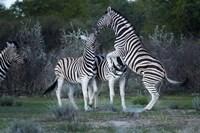 Burchell's zebra fighting, Etosha National Park, Namibia by David Wall - various sizes