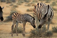 Burchell's zebra foal and mother, Etosha National Park, Namibia Fine Art Print