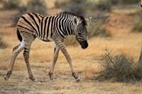 Burchells zebra foal, burchellii, Etosha NP, Namibia, Africa. by David Wall - various sizes