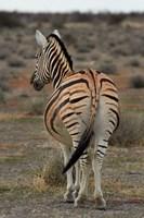 Burchells zebra with mismatched stripes, Etosha NP, Namibia, Africa. by David Wall - various sizes