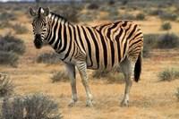 Burchells zebra, burchellii, Etosha NP, Namibia, Africa. by David Wall - various sizes