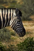 Zebra's head, Namibia, Africa. by David Wall - various sizes