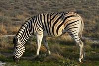 Zebra grazing, burchellii, Etosha NP, Namibia, Africa. by David Wall - various sizes