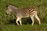Burchells zebra, burchellii, Kruger NP, South Africa by David Wall - various sizes