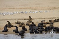 Cape Fur Seal colony at Pelican Point, Walvis Bay, Namibia, Africa. by David Wall - various sizes