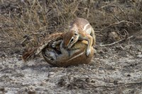 Cape ground squirrels fighting, Etosha NP, Namibia, Africa. Fine Art Print