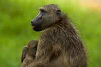Chacma baboon and baby, Kruger NP, South Africa by David Wall - various sizes