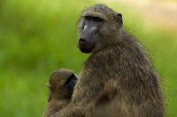 Chacma baboon, Papio ursinus, and baby, Kruger NP, South Africa by David Wall - various sizes