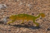 Chameleon, Etosha National Park, Namibia by David Wall - various sizes